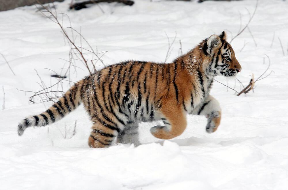 Fluffy Siberian tiger cub dashing through the snow.